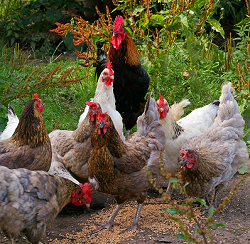 Insects as an alternative protein source for poultry feed as a project of Wageningen