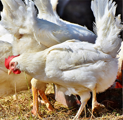 Beneficial effects of insects as feed supplement for poultry
