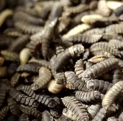 Reinartz Insekten Trailer